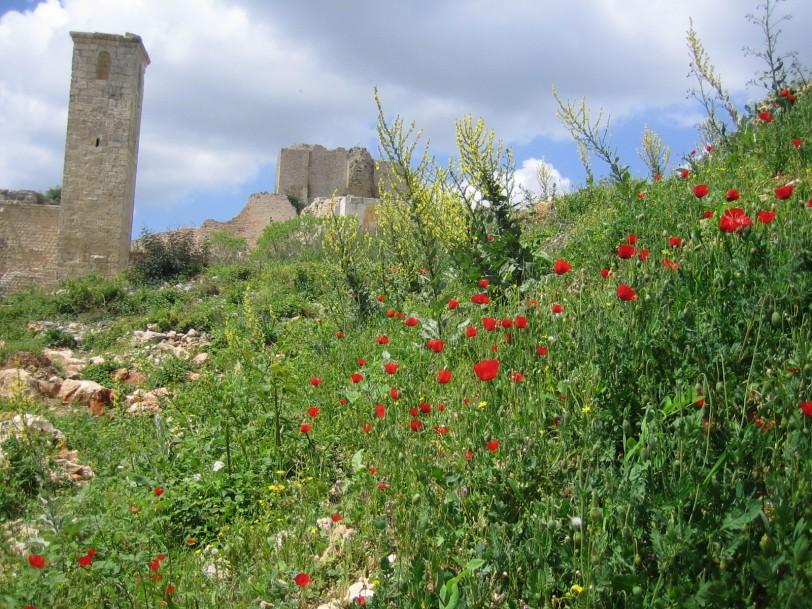red poppies at saladins castle