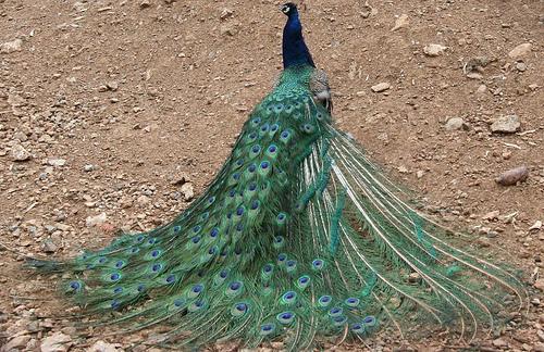 Proud (arrrogant) as a peacock?