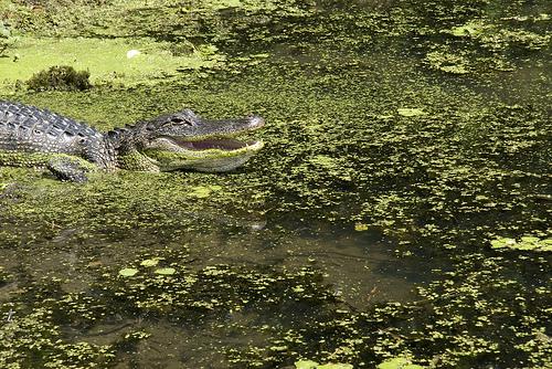 alligator-swamp