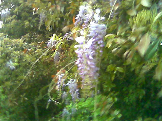 wisteria-closeup