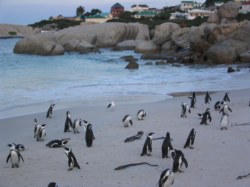 Capetown penguins sincere in their committment to their mates for life.