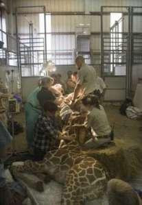 giraffe surggery12045337