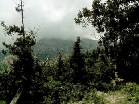 Juniper_forest